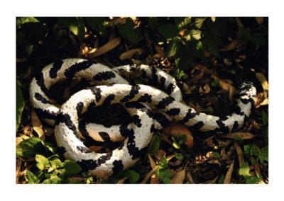 Serpiente rey 2011 Arcilla mixta autococcion policromada 47x269(200)cm