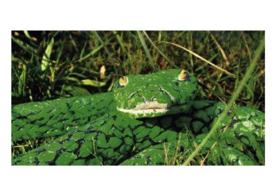 Fragmento Crotalo verde