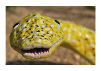 Fragmento Piton albina